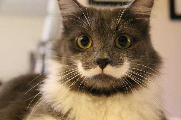 hamilton-hipster-cat