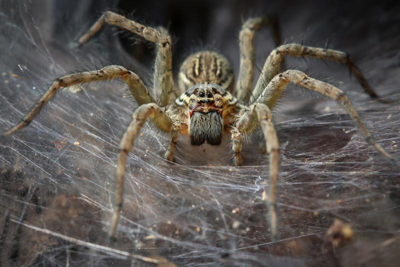 spinnen droom