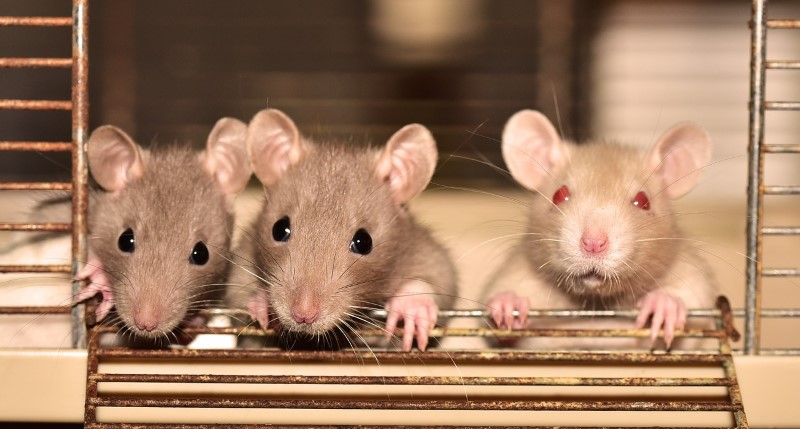 ratten brengen ongeluk